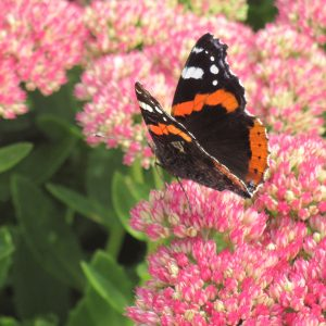 Biodiversiteit Atalanta Op Sedum Close Up