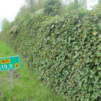 Klimplanten Voor Geluidsschermen