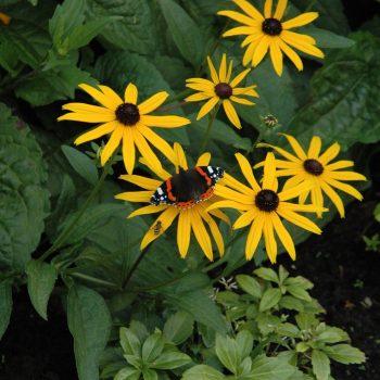 Rudbeckia Met Vlinder