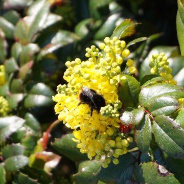 Biodiversiteit Mahonia Met Hommel
